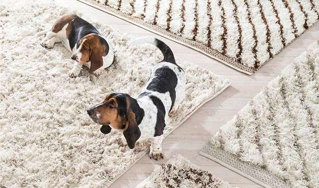 three white rugs and two basset hounds, Dash & Albert Rugs