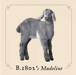 A picture of a baby goat named Madeline