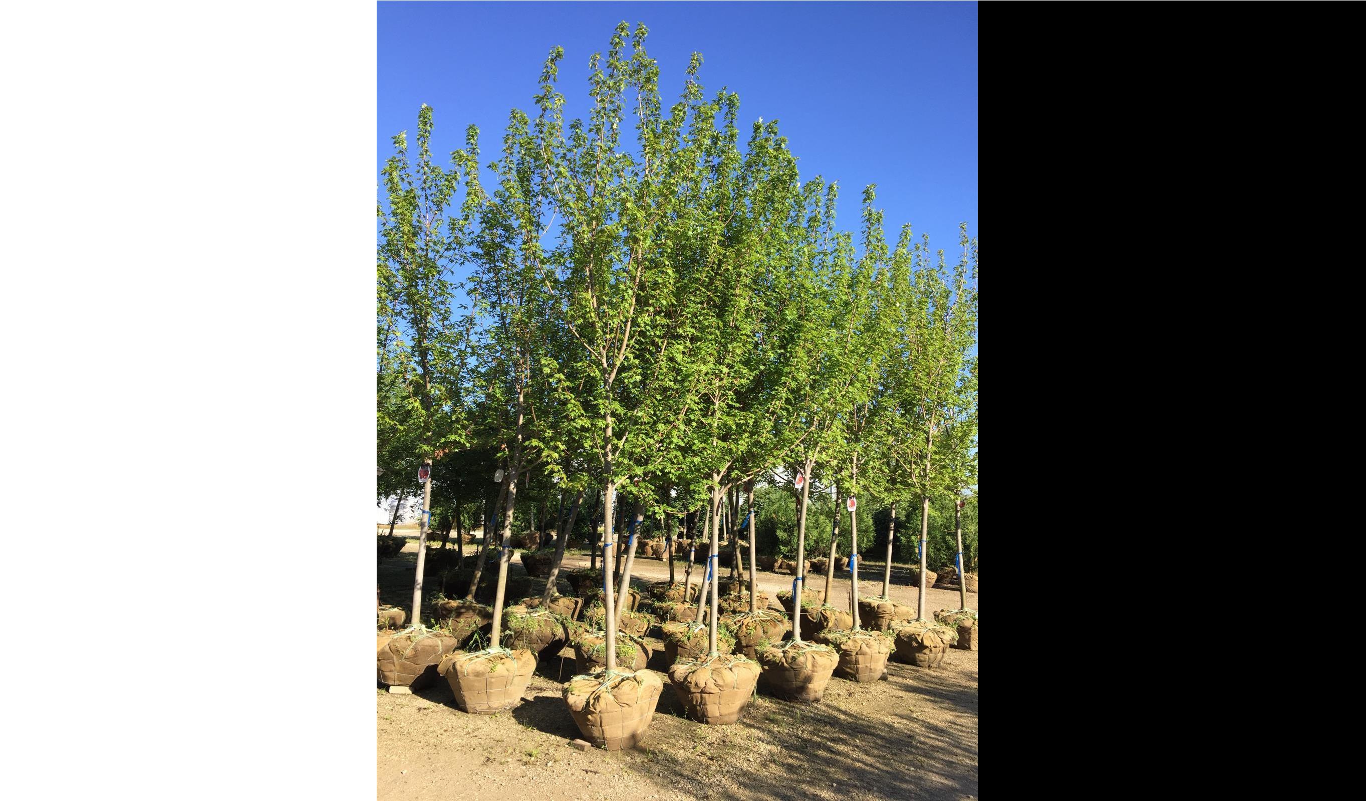 Trees_Nursery_Plants