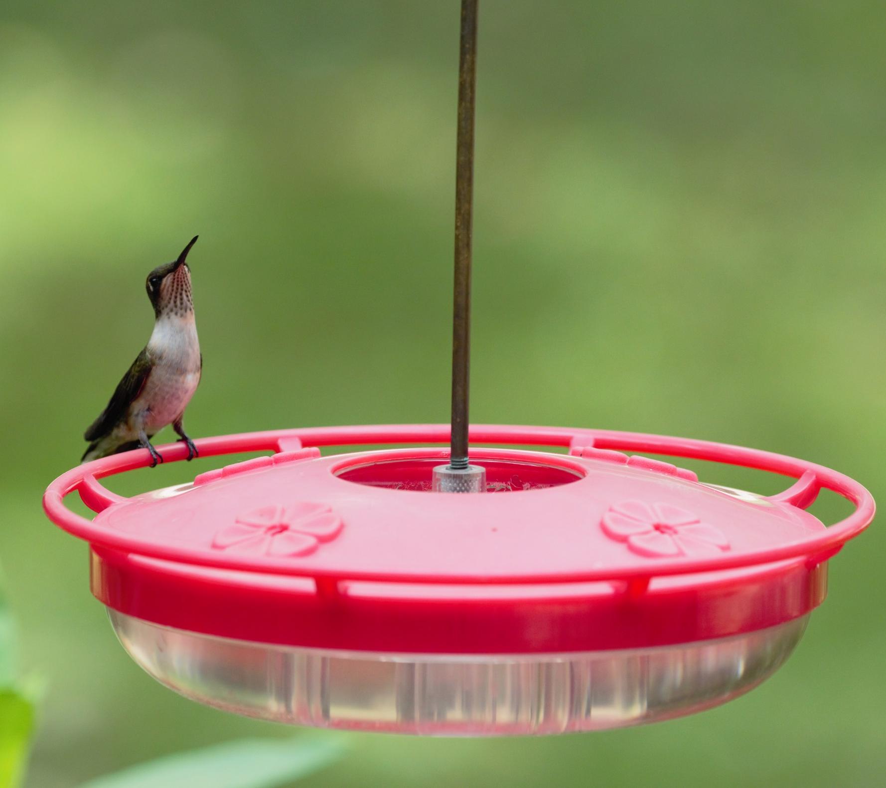 hummingbird feeder, bird feeding, saucer, ruby-throat