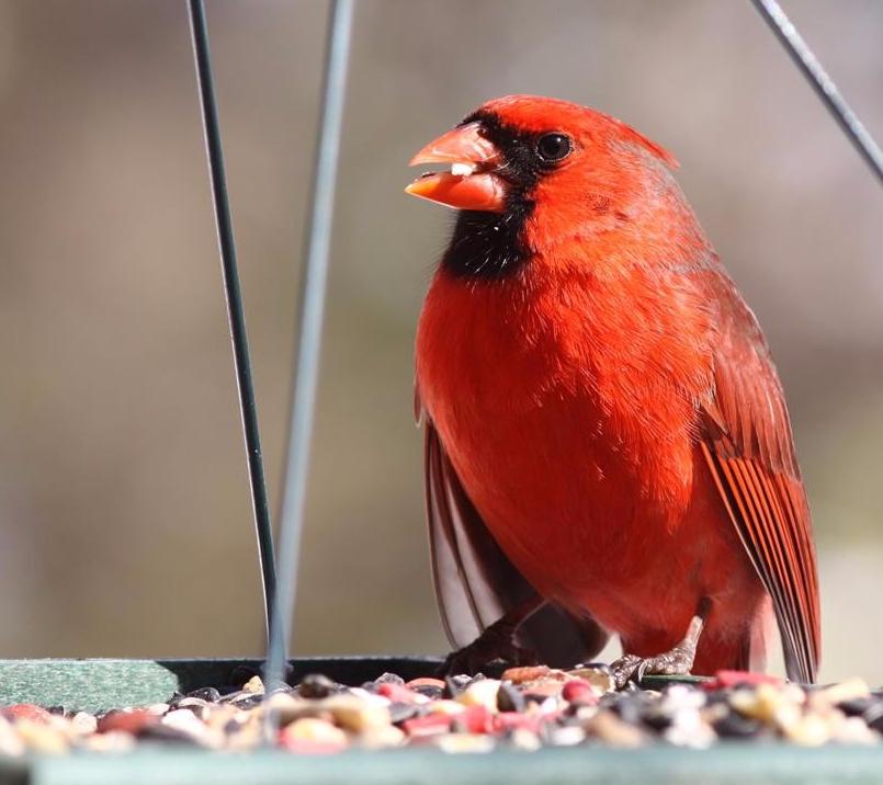 bird food, bird seed, platform feeder, tray feeder, cardinal food