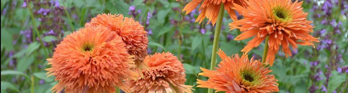 Tall perennial flowers pharo garden centre tall perennial flowers mightylinksfo