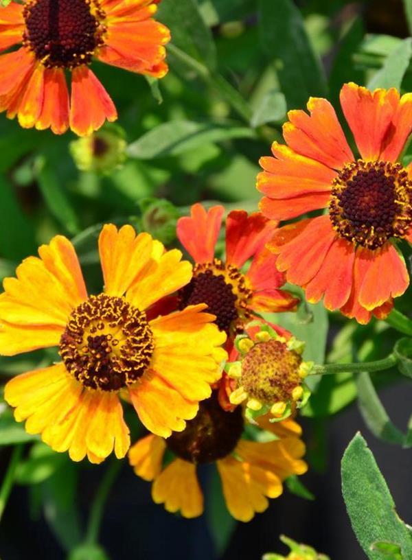Tall perennial flowers pharo garden centre image mightylinksfo