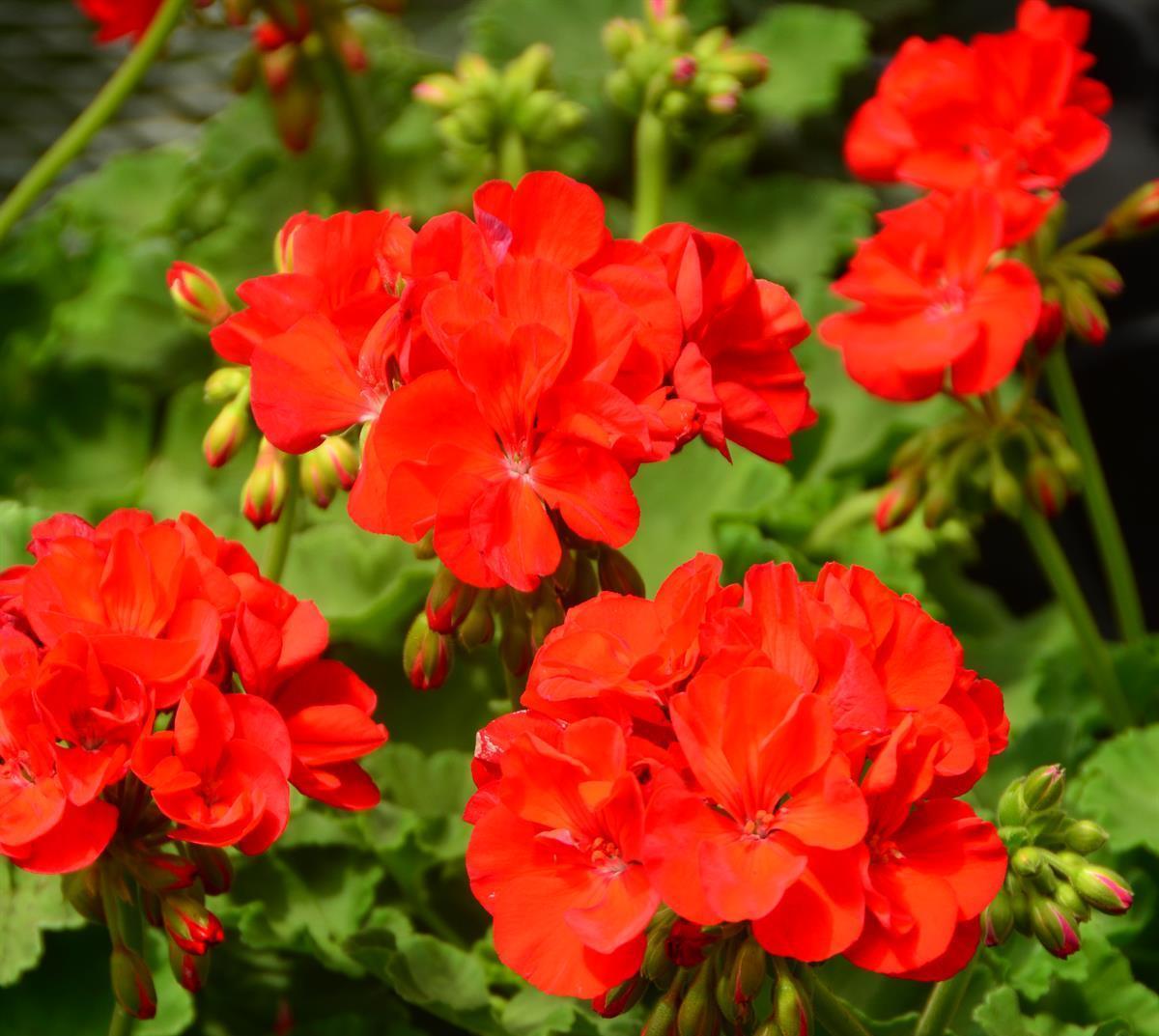 Annual Plants/Flowers | Pharo Garden Centre