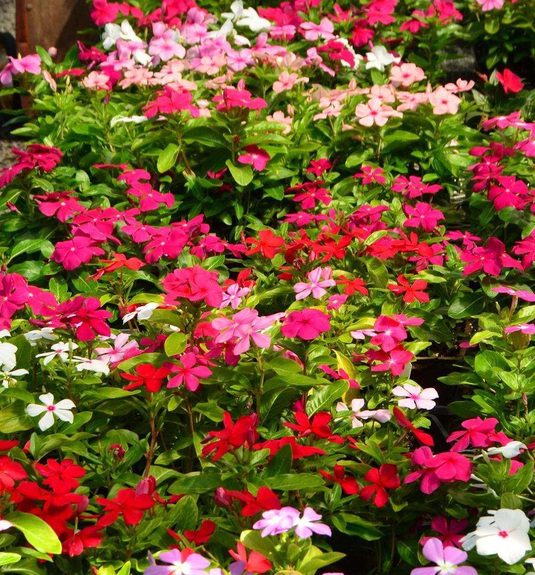 Annual plantsflowers pharo garden centre wishbone flower torenia izmirmasajfo